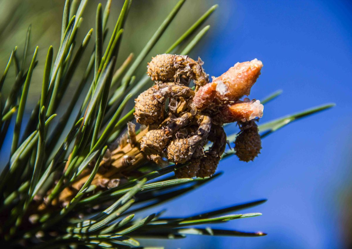 В Копыльском опытном лесхозе создана лесосеменная плантация сосны обыкновенной сорта «Негорельская»